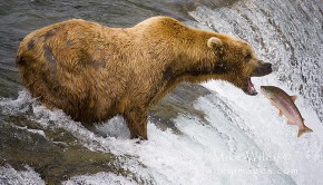 BearCatchingFish