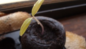 Tomato_Seedling